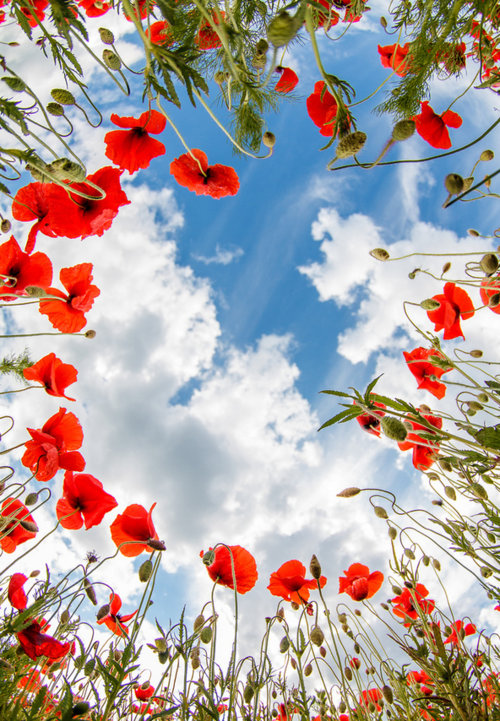 red poppies blue sky